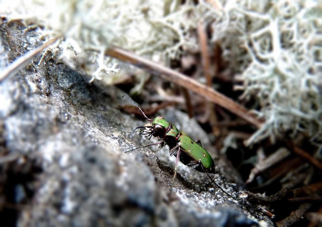 Cicindèle champêtre