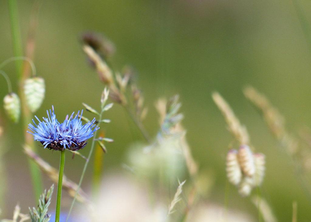 Fleur des dunes