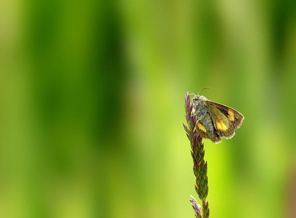 Papillon de nuit sp.