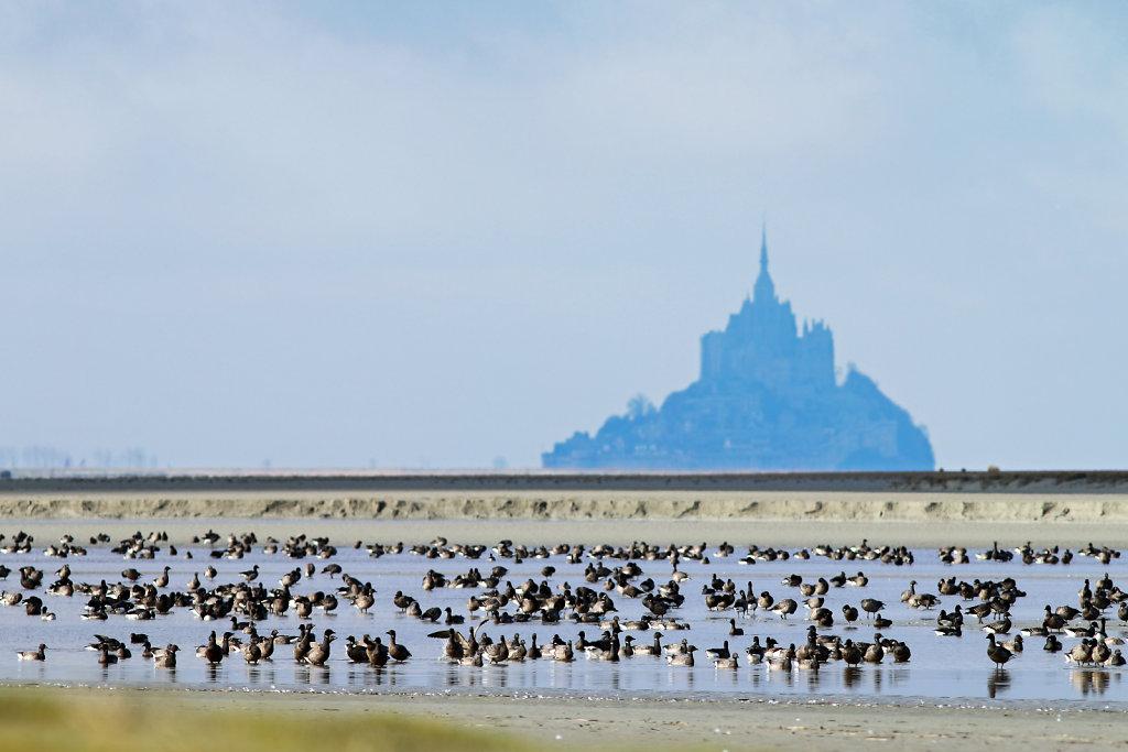 Bernaches cravant devant le Mont-Saint-Michel